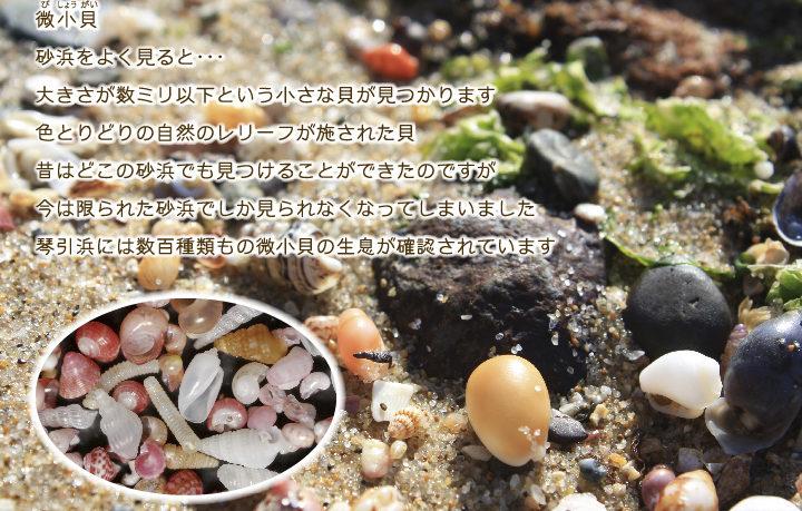 琴引浜には数百種類もの微小貝の生息が確認されています